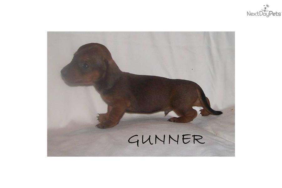 Dachshund, Mini puppy for sale near Tulsa, Oklahoma | 336537df-8b31