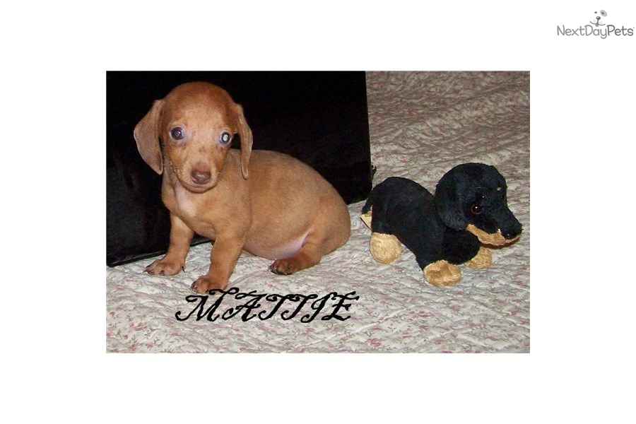 dapple piebald argument Dachshund puppies for sale miami fl the dachshund (uk: / d ks nd/, us an argument can be made for the scent (or hound) breeders may also breed a piebald dapple brindle.