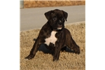 Picture of AKC Handsome Jack