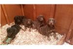 Picture of AKc Doberman Pinscher Puppies