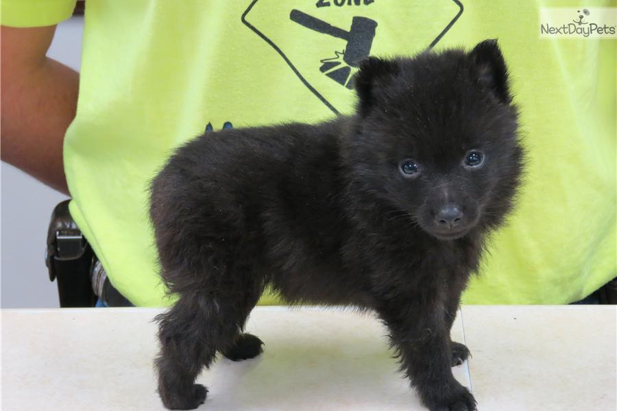 Schipperke Cost Gallery images ...