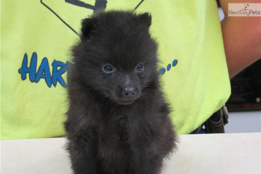 Schipperke Cost Dogs and Puppie...
