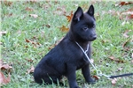 Picture of Quality AKC Schipperke Male Pup - Cord
