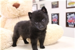 Picture of AKC Quality Male Schipperke Pup
