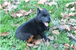 Picture of Quality AKC Schipperke Male Pup - Colt
