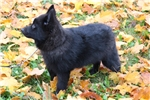 Picture of Quality AKC Schipperke Male Pup - Calvin