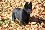 Picture of Quality AKC Schipperke Male Pup - Chance