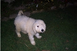 Picture of akc komondor  female