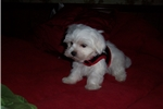 Picture of Buddy  maltese male