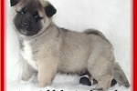 Picture of *AKC Regal Baby Bear* Friend 1 *CH lines*