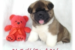Picture of AKC SHOWY Boy! Akita Friend 1  *CH sired Baby*