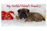 Picture of AKC Friendly Girl Friend 3  *CH Sired Baby*