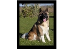 Featured Breeder of Akitas with Puppies For Sale