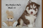 Siberian Huskies for sale