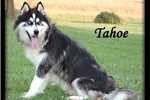 Picture of Husky Lov!! Pal 20 -- MyPerfectPal :)