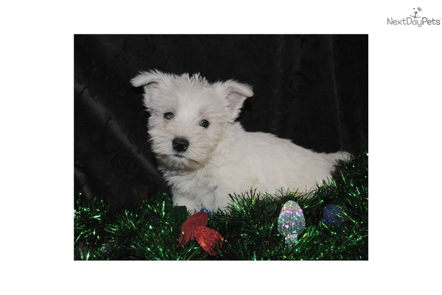 Meet westie baby boy a cute West Highland White Terrier ...