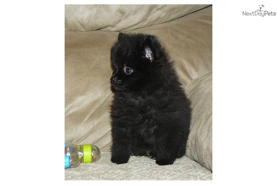 Pomeranian Male Akc Puppies For Sale Pittsburgh Pennsylvania