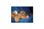 Picture of a Cavachon Puppy