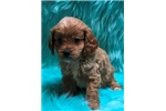 Catahoula Leopard Dog for sale
