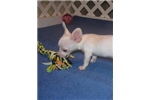Picture of Tyler, Cream Chi-Weenie - Needs Good Home!