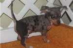 Picture of Lasso, Silver Dapple Chi-Weenie - Needs Good Home!