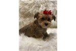 Picture of Dawna, Adorable Havashire Puppy - We Ship!