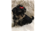 Picture of Dena, Adorable Havashire Puppy - We Ship!
