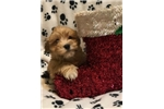 Picture of Doodle, Adorable Havashire Puppy - We Ship!