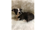 Picture of Henry, Boston Terrier - Ready Now!