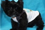 Picture of Paxton, Yorkie Poo - www.soonerpuppies.com
