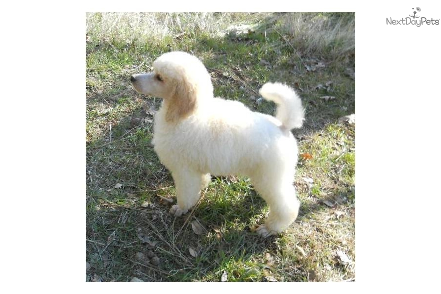 cream-standard-poodle-puppy-girldog-poodle-standard-puppy-eacfd.jpg