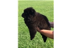 Picture of AKC Chow (Brody)