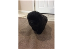 Picture of AKC Male Chow (Rufus)