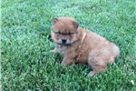 Picture of AKC Chow Puppy Female
