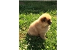 Picture of AKC Chow (Rudy)