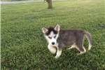 Picture of AKC Siberian Husky Puppy (Chief)