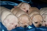 Featured Breeder of French Bulldogs with Puppies For Sale