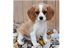 Picture of MINIATURE BEAGLIER!  Champion pedigree!