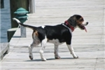 Picture of MINIATURE BEAGLIER!  Champion pedigree!  OFA CERT