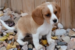 Picture of MINIATURE BEAGLIER!