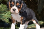 Picture of Miniature tri-colored Beaglier boy!  Ch pedigrees