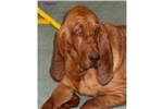Picture of a Bloodhound Puppy