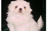 Featured Breeder of Pekingeses with Puppies For Sale
