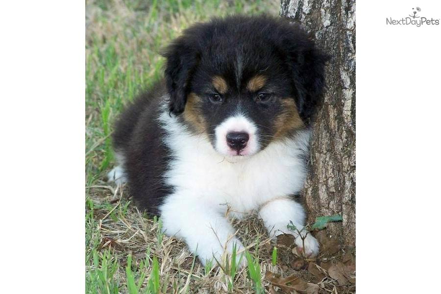 Miniature australian shepherd puppy for sale near wichita falls texas