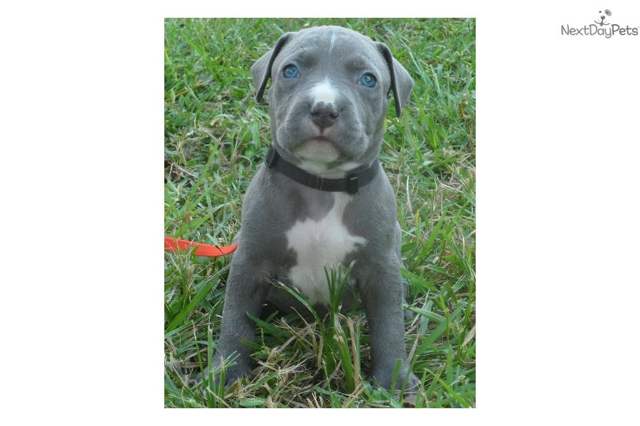 PURE APBT** NOT MIXED BULLIES! SHIPPING INCLUDED