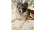Picture of POWDERPUFF'S BLUE MERLE PARTI TEDDY BEAR SWEET!