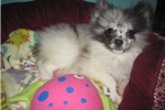 Picture of POWDERFUFFS BLUE MERLE PARTI FEMALE LOOKING 4 LOVE