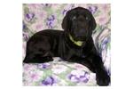 Featured Breeder of Mastiffs with Puppies For Sale
