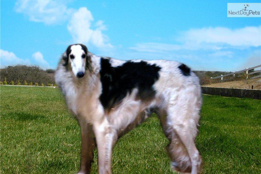 Scottish Deerhound puppy for sale near San Diego, California ...