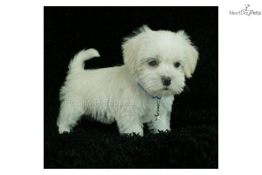 Corky Breed Dog